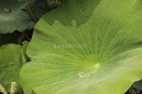 雨後のハスの葉の写真素材 [FYI03121078]