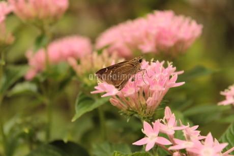 《昆虫》花の蜜を吸うセセリチョウの写真素材 [FYI03121082]