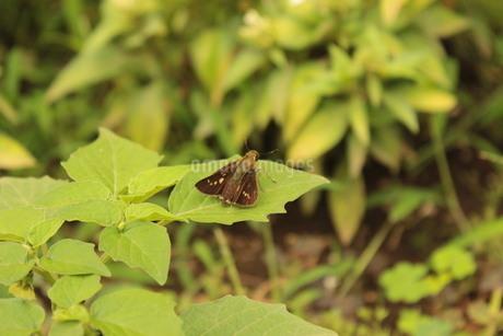 《昆虫》葉の上で休むセセリチョウの写真素材 [FYI03121083]