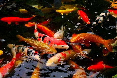 池で泳ぐ錦鯉(集団)の写真素材 [FYI03121569]