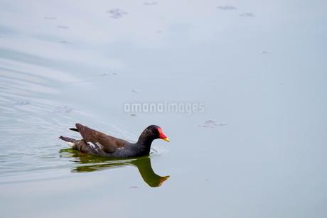 池を泳ぐバンの成鳥の写真素材 [FYI03121573]