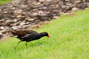 餌を食べるバンの成鳥の写真素材 [FYI03121575]
