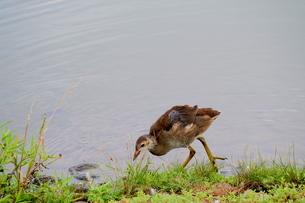 池の畔で餌を探すバンの幼鳥の写真素材 [FYI03121576]