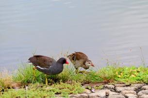 池の畔で餌を探すバンの親子の写真素材 [FYI03121588]