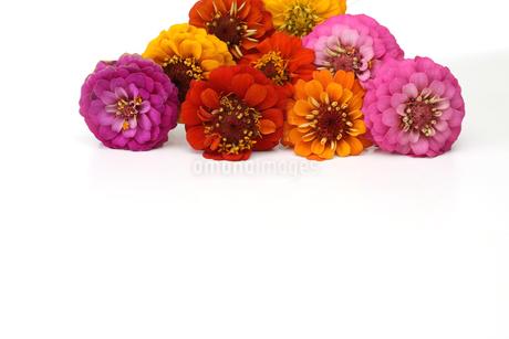 ジニアの花束の写真素材 [FYI03121928]