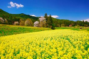 菜の花の段々畑と桜と古城山などの里山の写真素材 [FYI03122005]
