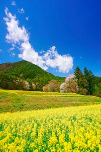 菜の花の段々畑と桜と住吉神社奥社などの里山の写真素材 [FYI03122015]