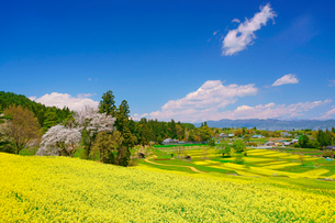 菜の花の段々畑と桜と安曇野盆地と妙高山方向の山並み遠望の写真素材 [FYI03122017]
