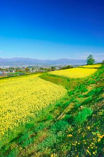 菜の花の段々畑と木立と安曇野盆地と美ヶ原などの山並みの写真素材 [FYI03122032]