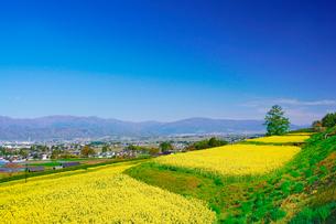 菜の花の段々畑と木立と安曇野盆地と美ヶ原などの山並みの写真素材 [FYI03122034]
