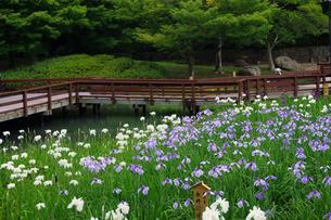 ハナショウブ咲く山田池公園の写真素材 [FYI03122716]