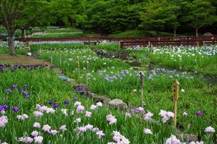 ハナショウブ咲く山田池公園の写真素材 [FYI03122718]