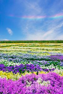 信州花フェスタの花畑と環水平アークの写真素材 [FYI03122774]