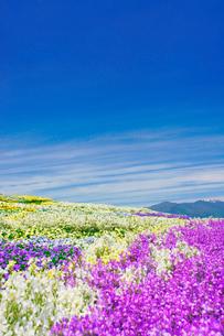 信州花フェスタの花畑と蝶ヶ岳など北アルプス遠望の写真素材 [FYI03122778]