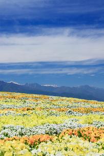 信州花フェスタの花畑とすじ雲と常念岳など北アルプス遠望の写真素材 [FYI03122786]