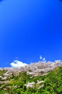 桜山の写真素材 [FYI03122900]