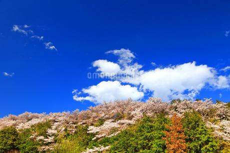 桜山の写真素材 [FYI03122901]
