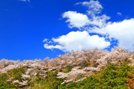 桜山の写真素材 [FYI03122902]
