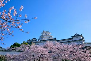 姫路城の連立天守群と桜の写真素材 [FYI03122988]