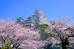 姫路城の連立天守群と桜の写真素材 [FYI03122994]