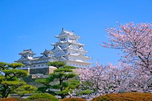 姫路城の連立天守群と桜の写真素材 [FYI03122996]