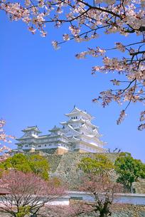 姫路城の連立天守群と桜の写真素材 [FYI03123016]