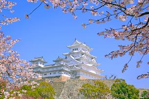 姫路城の連立天守群と桜の写真素材 [FYI03123017]