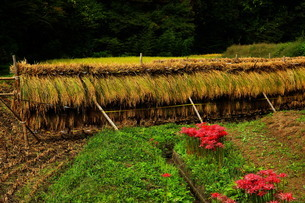 新米の稲刈り稲干しの写真素材 [FYI03123187]