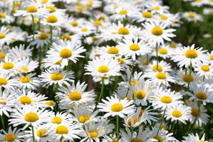 複数のマーガレットの花の写真素材 [FYI03123227]