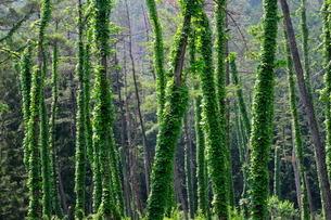 枯れた松の木に絡みついたツタの写真素材 [FYI03123237]