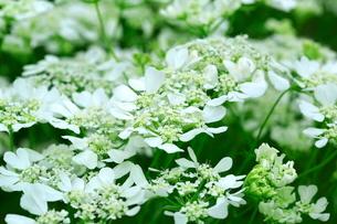 レースフラワーの花の写真素材 [FYI03123243]