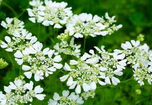 レースフラワーの花の写真素材 [FYI03123244]
