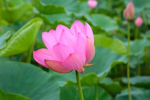 蓮の花の写真素材 [FYI03123270]