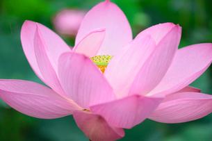蓮の花の写真素材 [FYI03123271]