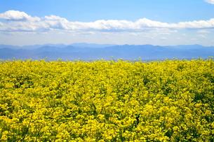 菜の花畑から見た山々の写真素材 [FYI03123292]