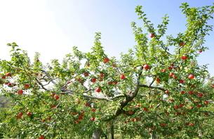 りんごの木と青空の写真素材 [FYI03123300]