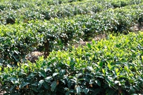 茶畑の写真素材 [FYI03123474]