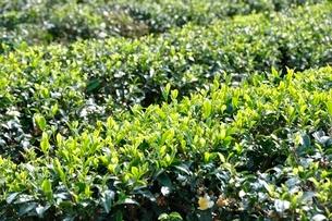 茶畑の写真素材 [FYI03123475]