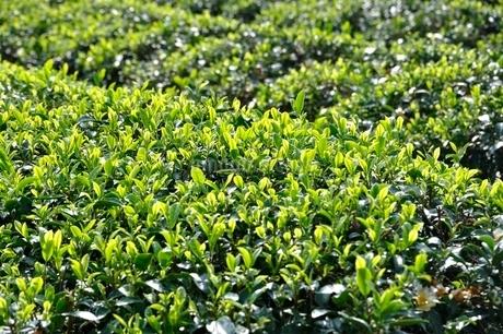 茶畑の写真素材 [FYI03123476]