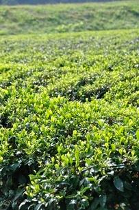 茶畑の写真素材 [FYI03123477]