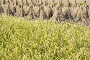 稲穂と収穫後の稲藁の写真素材 [FYI03123513]