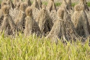 稲穂と収穫後の稲藁の写真素材 [FYI03123514]