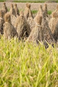 稲穂と収穫後の稲藁の写真素材 [FYI03123515]