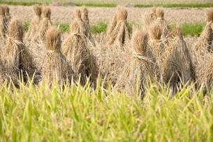 稲穂と収穫後の稲藁の写真素材 [FYI03123516]