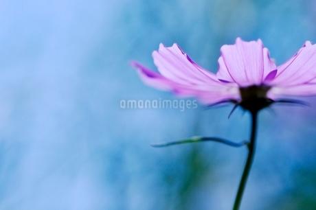 コスモス写真  花写真素材 背景水色の写真素材 [FYI03123615]
