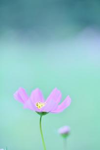 コスモス写真  花写真素材の写真素材 [FYI03123616]
