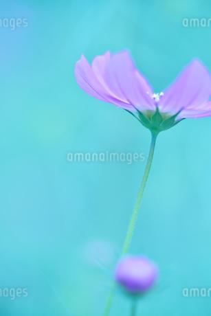 コスモス写真  花写真素材の写真素材 [FYI03123617]