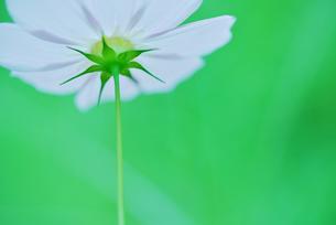 コスモス写真  花写真素材の写真素材 [FYI03123619]