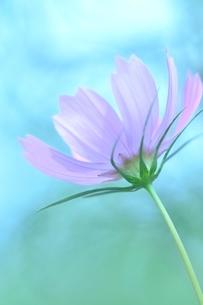 コスモス写真  花写真素材の写真素材 [FYI03123622]