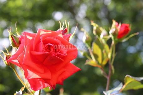 赤いバラの写真素材 [FYI03123678]